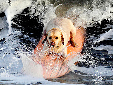 Woofs & Waves: Harvey the Surfing Dog!