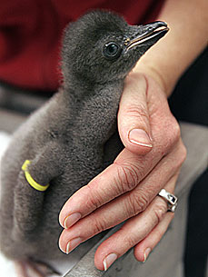 Chicks Galore! Sea World's Bumper Crop of Penguins
