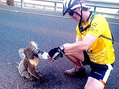 Koalas Desperate for Water in Australian Heat Wave