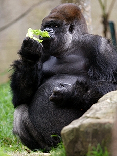 Kibabu the Gorilla Celebrates His 32nd Birthday – and a Good Cause!