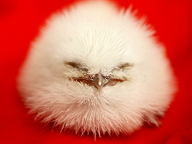 Rare Fuzzy-Wuzzy Frogmouth Born at Seattle Zoo