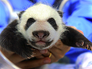 Thailand's First Baby Panda Turns 1 Month Old!