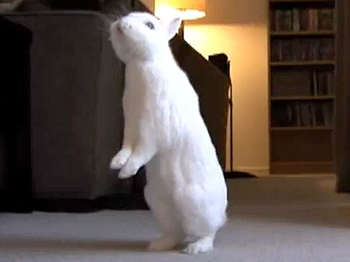 Wednesday's Funny Video: Simon the Walking Bunny