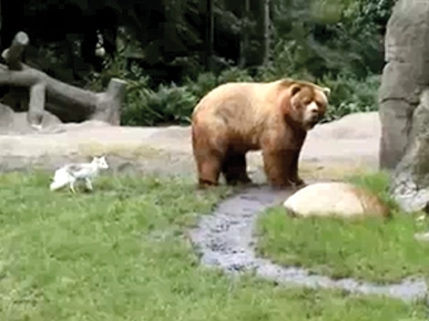 Tuesday's Funny Video: Fox vs. Bear – and the Fox Wins!