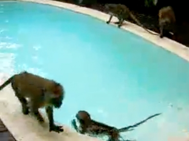 Monday&#39;s Funny Video: Monkey Pool Party!