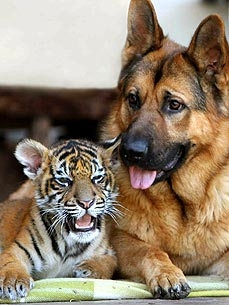 Tiger Cub and German Shepherd Play Like Romper Room Pals