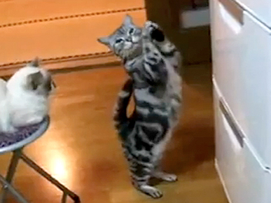 Thursday's Funny Video: Kitties Ain't Too Proud to Beg for Food!