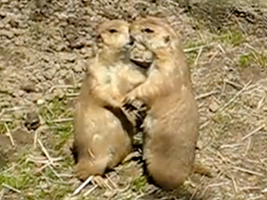 Friday's Funny Video: Prairie Dog Make-Out Session!