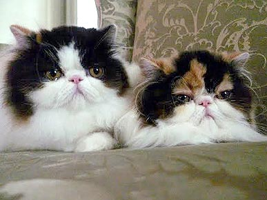 Martha Stewart Adds 2 Calico Persians to Her Brood