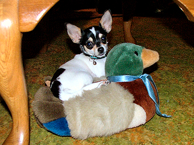 Animal &#39;D&#39;oh&#39;!: Joy the Chihuahua Mistakes Duck for Her Ride!