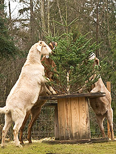 Rescued Goats Eat Discarded Christmas Trees Like 'Candy'