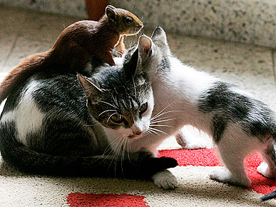 PHOTO: Rescued Squirrel's New Mom Is a Cat