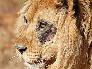 Sanctuary Gives Blind Lion a New Lease on Life