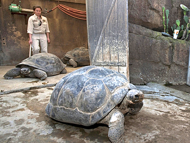 The Water Bowl: 17 Tortoises to Get Their House Rehabbed; Plus, Goat on a Police Chase!