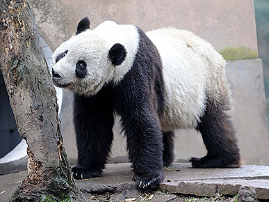 The Water Bowl: Panda Fans Head To China To Scoop Poop! Plus, Can Dogs Help Childhood Eczema?