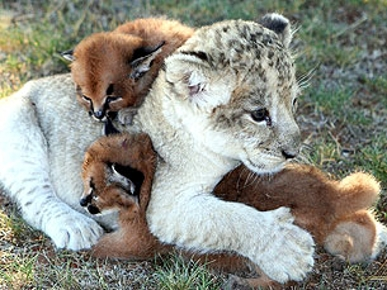 PHOTO: Baby Lion Buddies Up to Abandoned Caracals