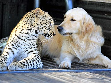When Opposites Attract! Dog and Leopard Fall in Love