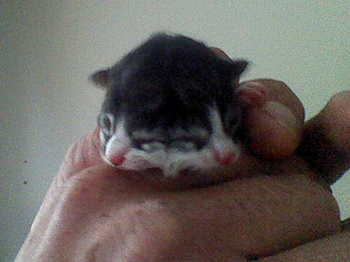 Kitten Born with Two Faces Dies