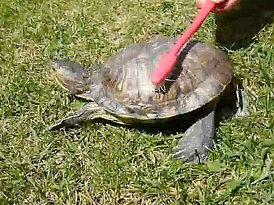 Tuesday's Funny Video: Rump-Shaking Tortoise Goes Bump!