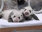 VIDEO: Baby Pandas Make Japanese Debut