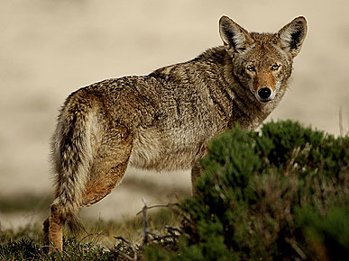 The Water Bowl: Why Are Coyotes So Mysterious? Plus, Dog Saves Boy from Snake