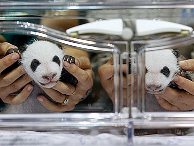 Rare Twin Pandas Make Debut at Madrid Zoo