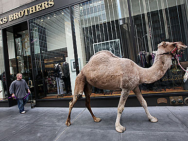 Spotted: Radio City Camels Go Window Shopping