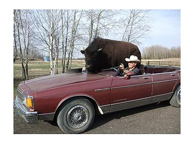 Beer-Drinking Bison Rides a Convertible to the Bar