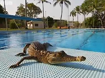 Crocodile Swims in Public Pool in Australia