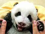 15 Drop-Dead Cute Pandas