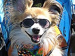 Shady Behavior! Pets in Sunglasses