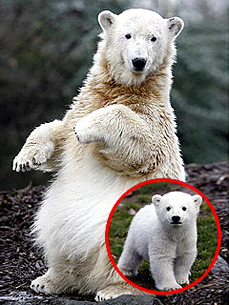 Sad News: Knut, the World Famous Polar Bear, Is Dead