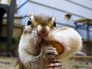 World's Hungriest Chipmunks and Squirrels