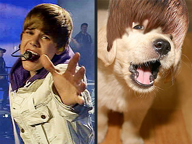 Dogs That Look Like Justin Bieber