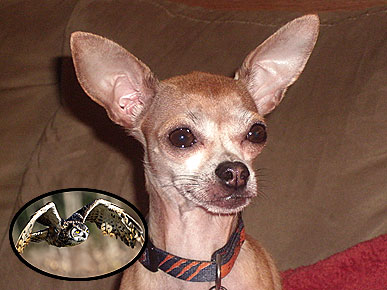 4-Lb. Chihuahua Survives Great Horned Owl Attack