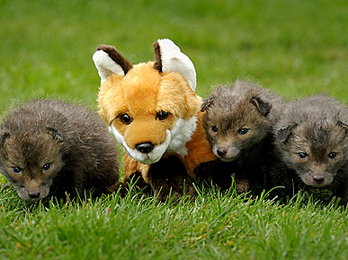 Aww! Orphaned Fox Cubs Get a New (Toy) Mom