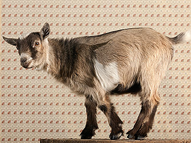 The Water Bowl: Goat Walks into Music Store! Plus, Richard Branson&#39;s Lemur Island