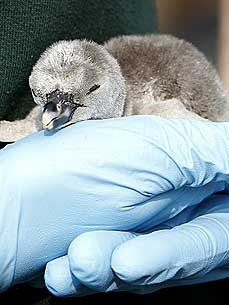 William and Catherine's Cutest Wedding Gift? A Baby Humboldt Penguin!