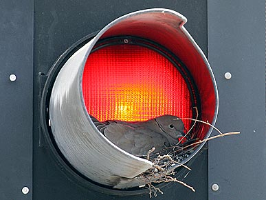 Photo: Dove Builds Nest in a Traffic Light!