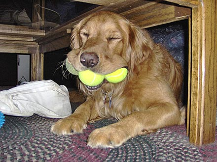 Animal D&#39;Oh! George Has His Mouth Full ... of Tennis Balls