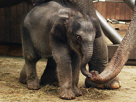 Rashmi, Baby Elephant Walks at Ostrava Zoo