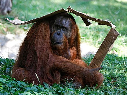Made the Shade! Clever Orangutan Builds a Cabana