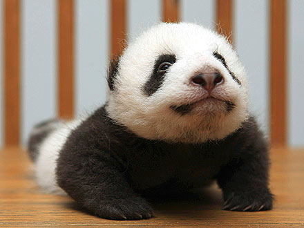 Cute! Baby Panda Does Upward-Facing Dog