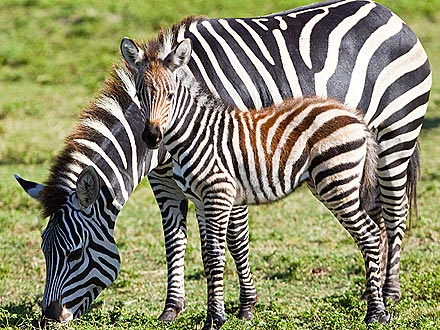 That Was Fast! Newborn Zebra Runs with the Herd