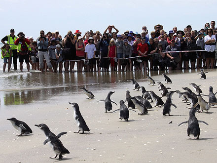 Make Way for Penguins! Rescued Birds Return to Ocean