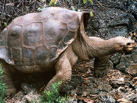 Lonesome George Dies, Subspecies Extinct