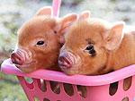Pinup Piggy Paradise!
