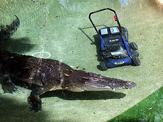 Crocodile Attacks Lawn Mower in Australia