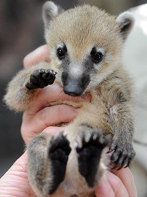Yoo-Hoo! Baby Coati Waves Hello
