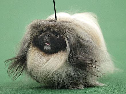 Westminster Dog Show 2012: Pekingese Wins Best in Show